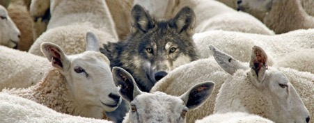 Wolf with Sheep